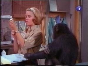 paula tracy preparing a hypo with judy the chimp on daktari