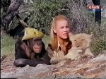 judy the chimp cheryl miller lion cub daktari season three