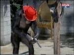 judy the chimp daktari season four