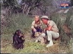 judy the chimp with cheryl miller and marshall thompson on daktari