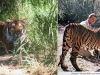 Remember Serang the tiger? He was a movie star! And Cheryl Miller pulled his tail!