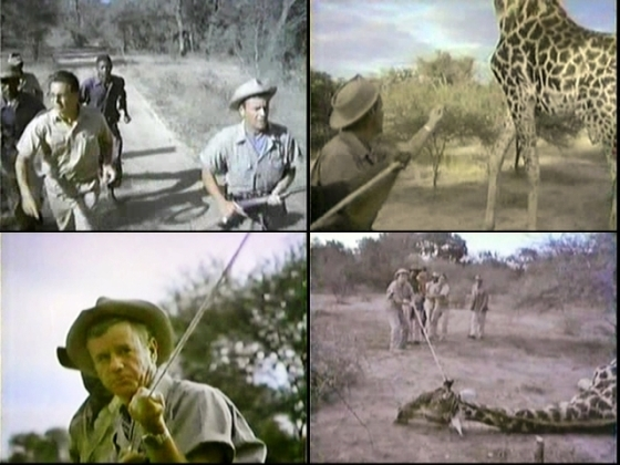 "shots 1-4 from the extended on-location African sequence of the giraffe capture in ""Little Miss Nightingale"""