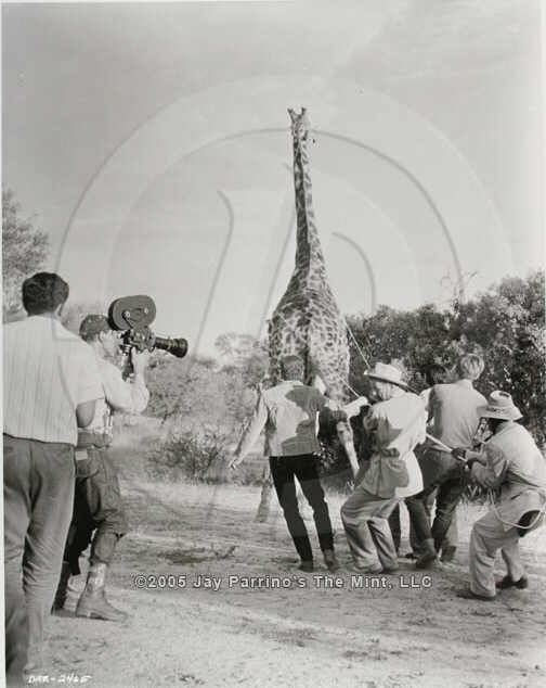 The Daktari crew roping the giraffe with Marshall Thompson turning his head towards the camera